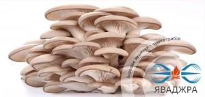 Порошок вешенки - сушка грибов
