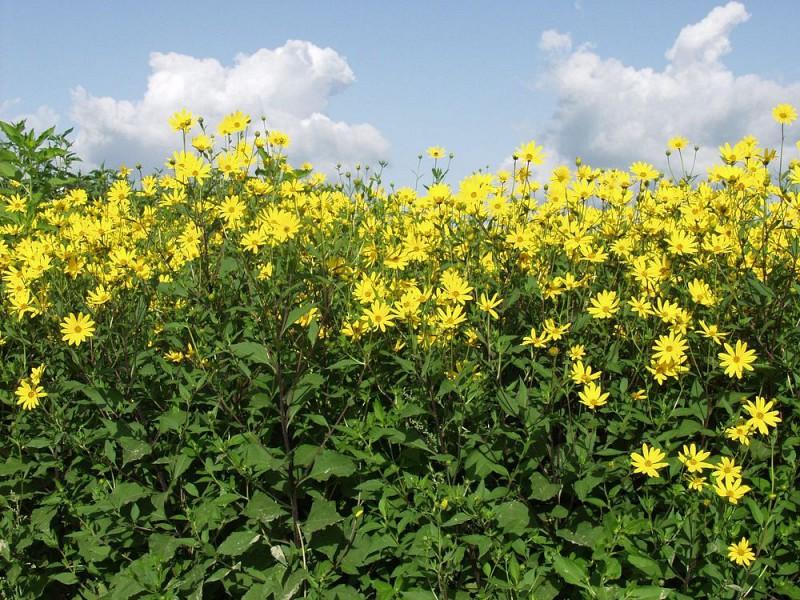 Топинамбур в цвете